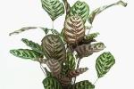 Calathea croce